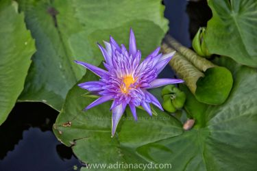 water lily by Armandacyd