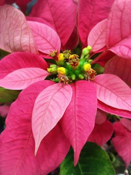Christmas in Pink by halleys-world