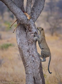 Leopard Ascent by MorkelErasmus