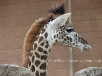 Young Giraffe by BCAnime