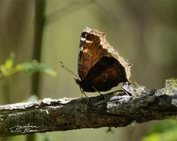 Mourning cloak butterfly on dead branch by themanitou