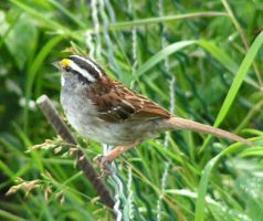 White-throated Sparrow 03 by JocelyneR