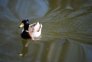 Two Headed Duck by Natureboy95