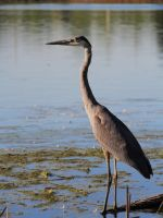Great Blue Heron by KMourzenko
