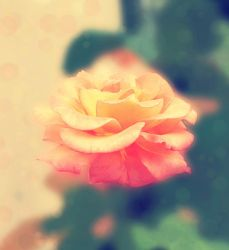 Rose 2 by matthey