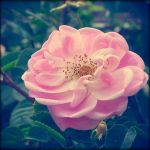 soft pink garden rose by sataikasia