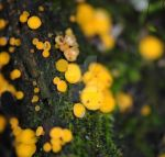 tiny yellow fungi by ChristinePhotoArt