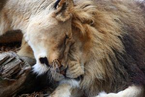 Lion and Lioness by rosswillett