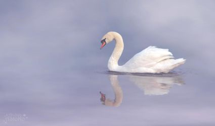 Swan ~ foggy day by AStoKo