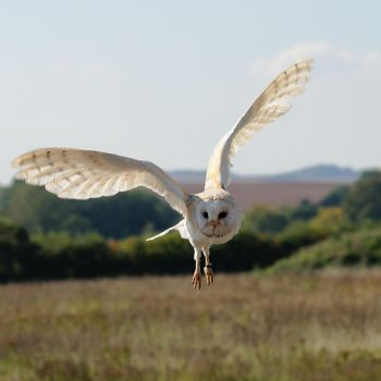 Barn Owl In Flight by FurLined