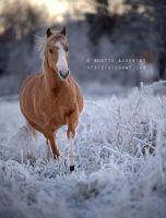 Snow Pony by Hestefotograf