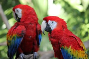 Macaws by oh-juliet