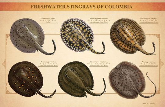 Colombia's Freshwater Stingrays by Onikaizer