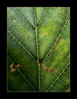 :: Aesculus Hippocastanum :: by synergia