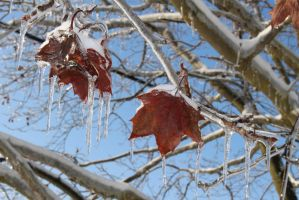 Iced Leaves by MillyT