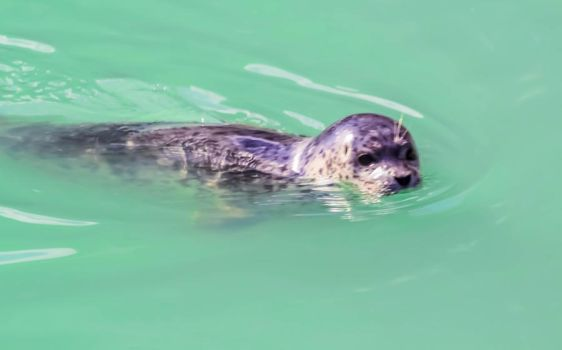 A cute little harbor seal swimming in Alaska. by Suzannesphotos