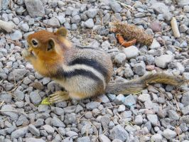 Chipmunk Stock by Carol-Moore