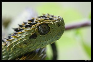 Atheris hispida by BPFischer