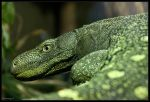 Mangrove monitor by Haywood-Photography