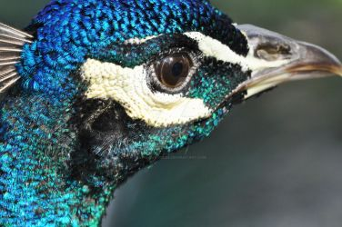 Peacock Portrait by Child-Of-Gaea