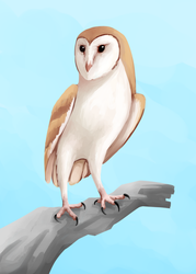 Barn owl by Netoey