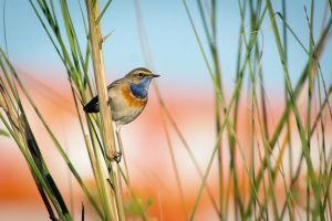 Bluethroat by rat-or-rat