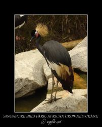 Singapore.6: Crowned Crane by Angelfae