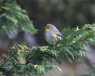 Yellow-rumped Warbler On Cedar by swashbuckler