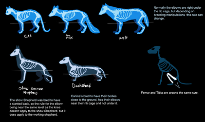 Canine backLeg anatomy part 2 by Skeleion
