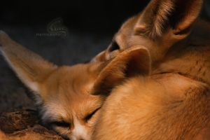 Fennec Foxes II by Veavictis