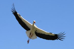 storch by hv1234