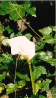 White flower with yellow bit by goldfish654