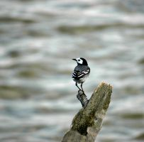 White Wagtail by Hannu-H