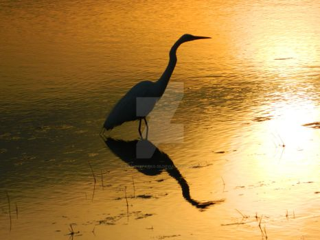 Egret Reflected in Sunset Lake by NancySparks-55