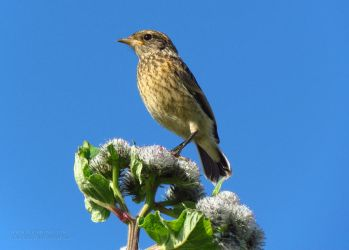 Young stonechat by Valnushka