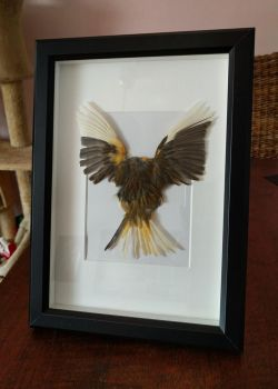 Canary skin picture frame FOR SALE by DeerfishTaxidermy
