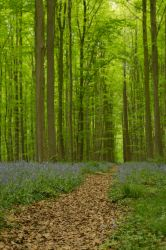 Blue Forest Hallerbos 015 by ISOStock