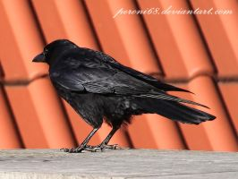 crow 22-1 by peroni68