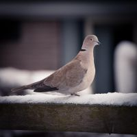 Dove by DannyRoozen