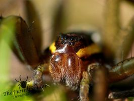 Female Dolomedes Fimbriatus - Portrait by TheFunnySpider