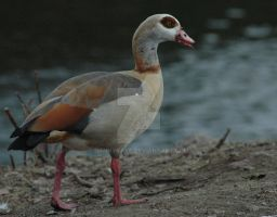 Egyptian Goose 1 by dannykaye