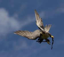 Pergrine Falcon by Parides