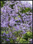 Jacaranda Tree by Mogrianne