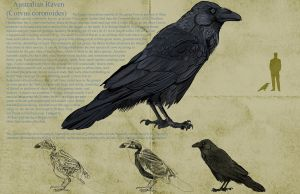Australian Raven by gryphons-aerie