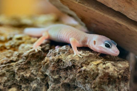 Young Blizzard Leopard Gecko by Caloxort