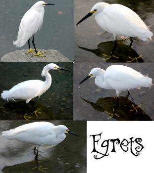 Egrets - Stock by Jenifer10