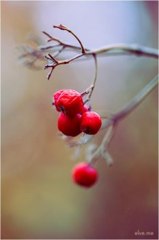 autunm.berries.1 by Ilmael
