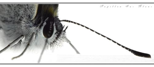 Papillon Sur Blanc by Hector42