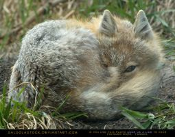 Sleepy Swift Fox 2 by SalsolaStock