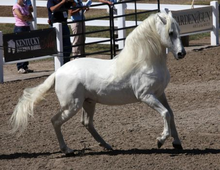 white andalusian 1 by venomxbaby